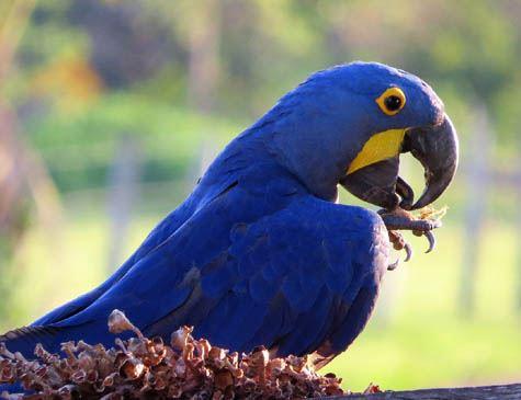 Arara Azul: características, espécies e extinção!