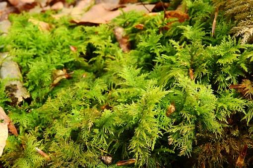 briófitas reino plantae