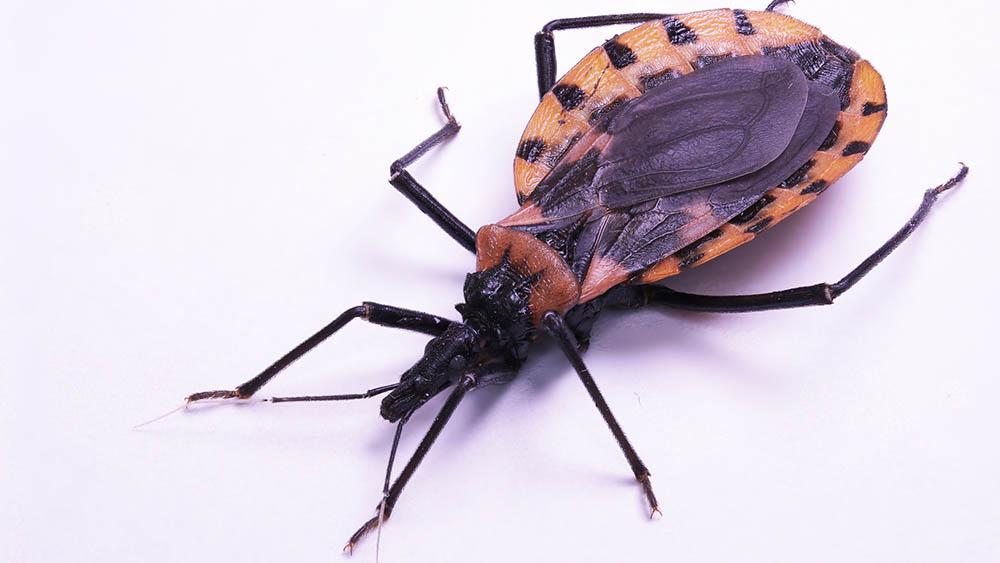 mosquito doença de chagas