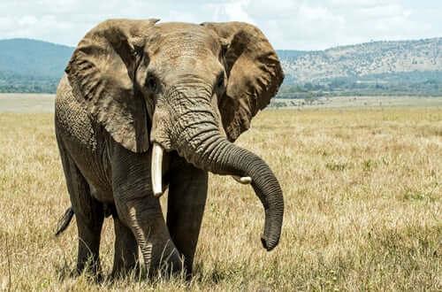 Elefante: características e curiosidades!