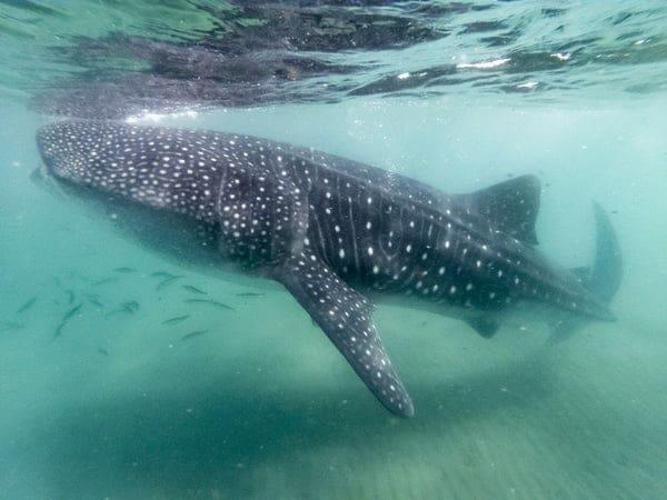 Tubarão-baleia: descubra esse animal!